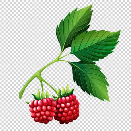 Raspberries on branch on transparent background illustration