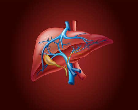 human liver: Human liver on red background illustration