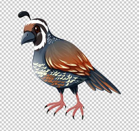 Wild quail on transparent background illustration Imagens - 78784396