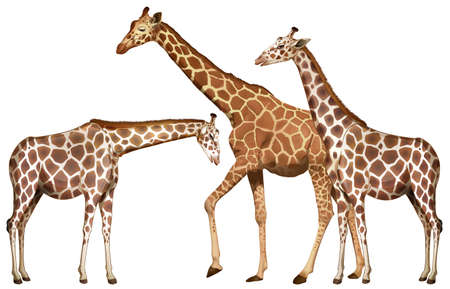 tropical: Three tall giraffes on white background illustration Illustration