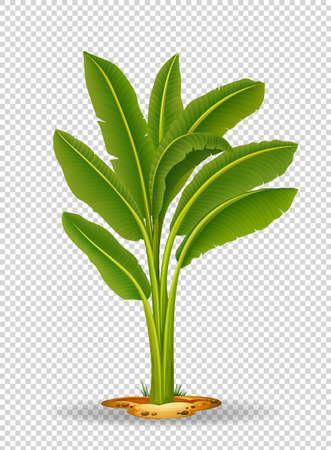 tree isolated: Banana tree on transparent background illustration