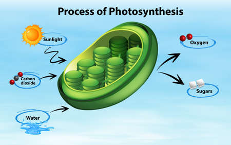 Diagram showing process of photosynthesis illustration