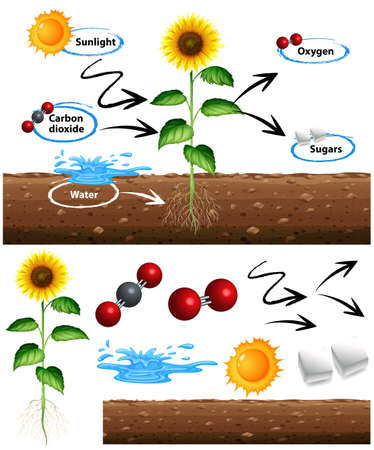 Diagram showing how plant grows illustration Çizim