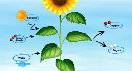 Diagram showing sunflower and photo synthesis illustration Çizim