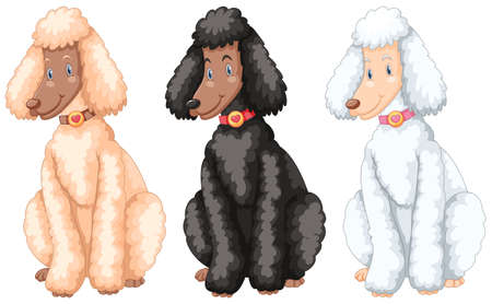 poodle: Three poodle dogs with different fur colors illustration.