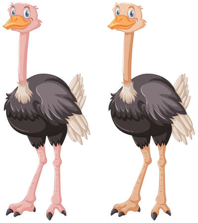 Two ostriches on white background illustration. Çizim