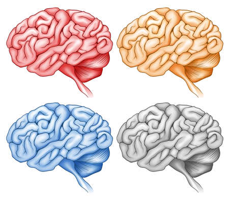 Human brain in four colors illustration