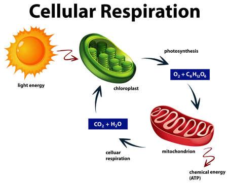 Diagram showing cellular respiration illustration 일러스트