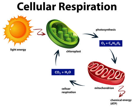 Diagram showing cellular respiration illustration Ilustracja