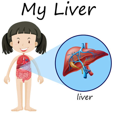 Human anatomy diagram with girl and liver illustration