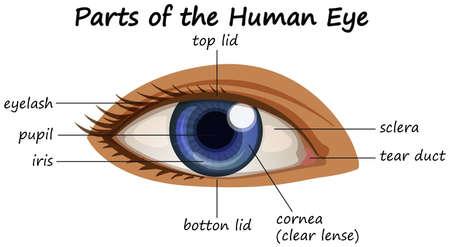 Diagram showing parts of human eye illustration