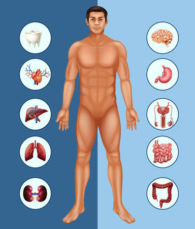 Diagram showing human man and different organs illustration