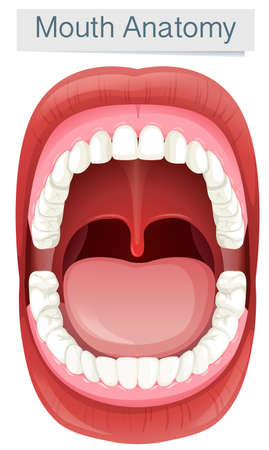 Human Mouth Anatomy on White Background illustration