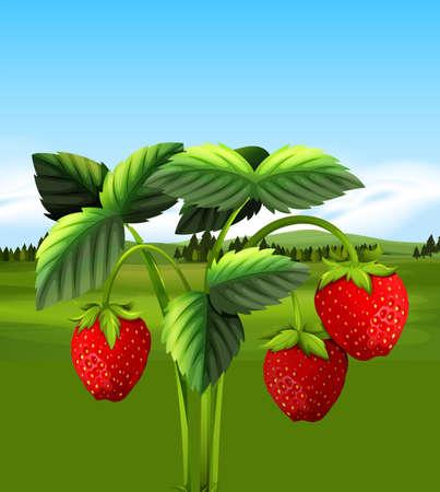 Organic Strawberry  with Farm View illustration