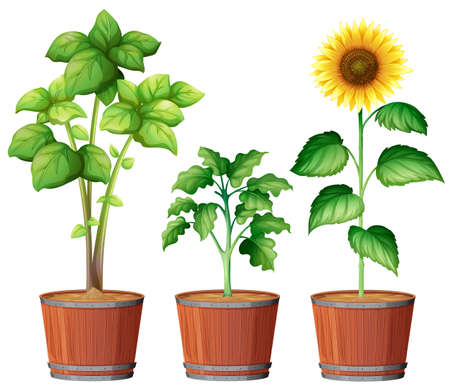 Sunflower Planting in the Pot illustration