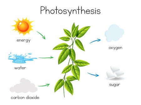 A Vector of Plant Photosynthesis illustration