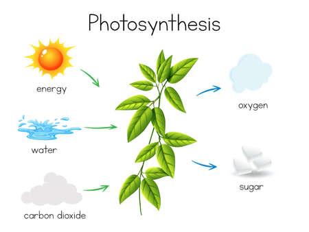 Un vector de ilustración de fotosíntesis de plantas