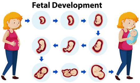 A Vector of Fetal Development illustration