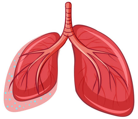 Human Lung on White Background illustration