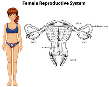Human Anatomy of Female Reproductive System illustration Illusztráció