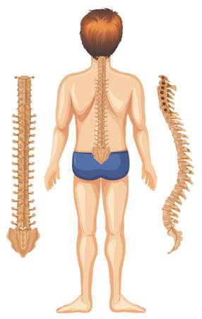Human Anatomy of Spine on White Background illustration