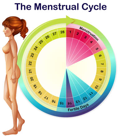 A Vector of the Menstrual Cycle illustration