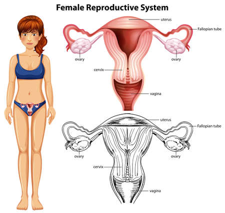 Female Reproductive System on White Background illustration