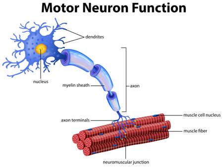 Un vector de la ilustración de la función de la neurona motora