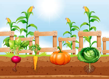 Agriculture Vegetables and Underground Root illustration Illustration