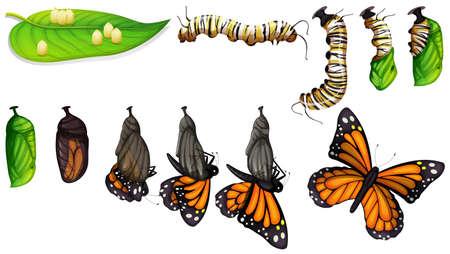 De illustratie van de levenscyclus van de vlinder