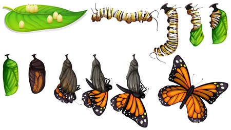 The butterfly life cycle illustration Illusztráció