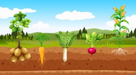 Ilustración de hortalizas de agricultura y raíz subterránea Ilustración de vector