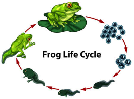 Frog life cycle digram illustration