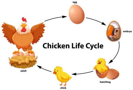 Ilustración del diagrama del ciclo de vida del pollo