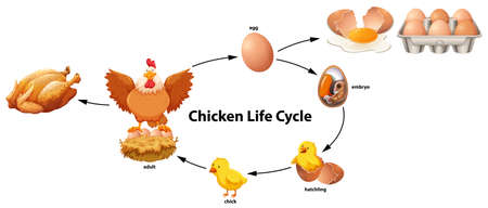 Science of Chicken Life Cycle illustration  イラスト・ベクター素材