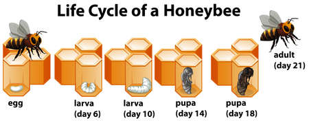 Life cycle of a honeybee illustration Illustration