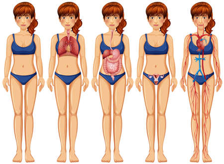 A Woman Body and Anatomy illustration