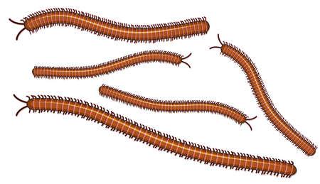 Centipede on White Background illustration