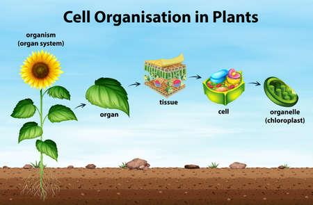 Cell organisation in plants illustration