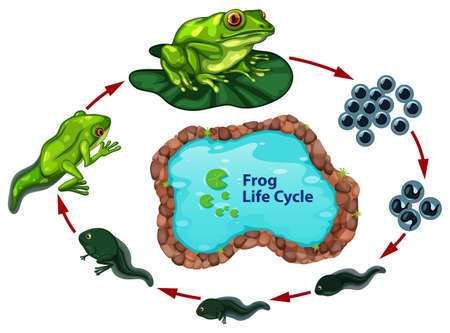 The frog life cycle illustration