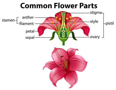 Science of Common Flower Parts illustration