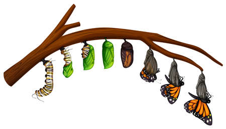 Ein Satz Schmetterlingslebenszyklusillustration