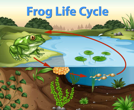 Science of Frog Life Cycle illustration Stock Vector - 115065777