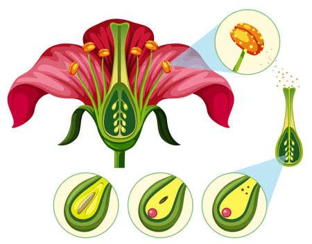 Illustration d'organes de fleurs et de pièces de reproduction