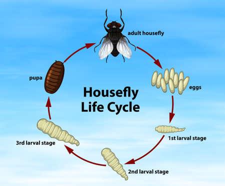 Levenscyclus van de huisvlieg van de wetenschap. Vector illustratie