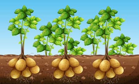 Potatos growing under ground illustration