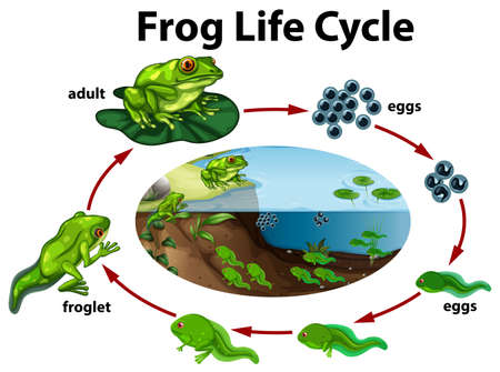 A frog life cycle. Vector illustration