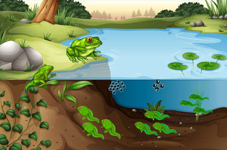 Scene of frogs in a pond illustration  イラスト・ベクター素材