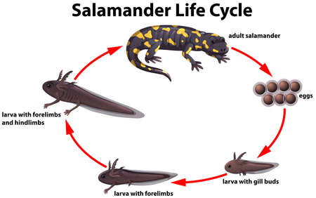 Salamander life cycle concept illustration 일러스트