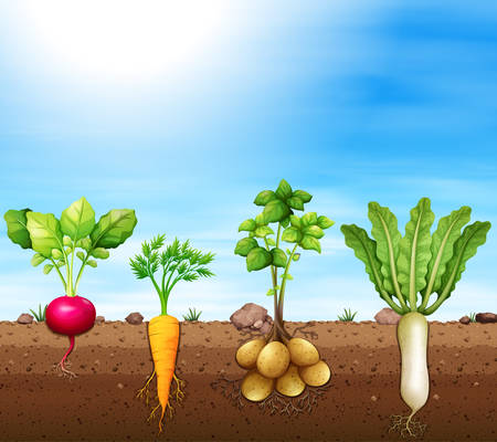 A set of root vegetable illustration